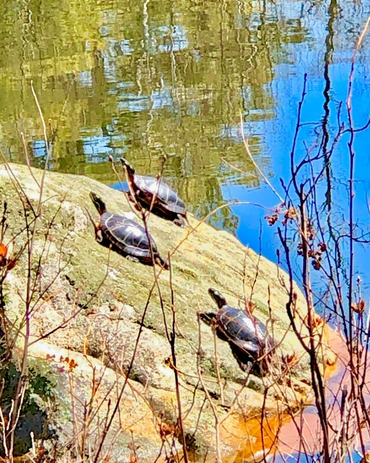 three painted turtles sunbathing on a rock in a pond