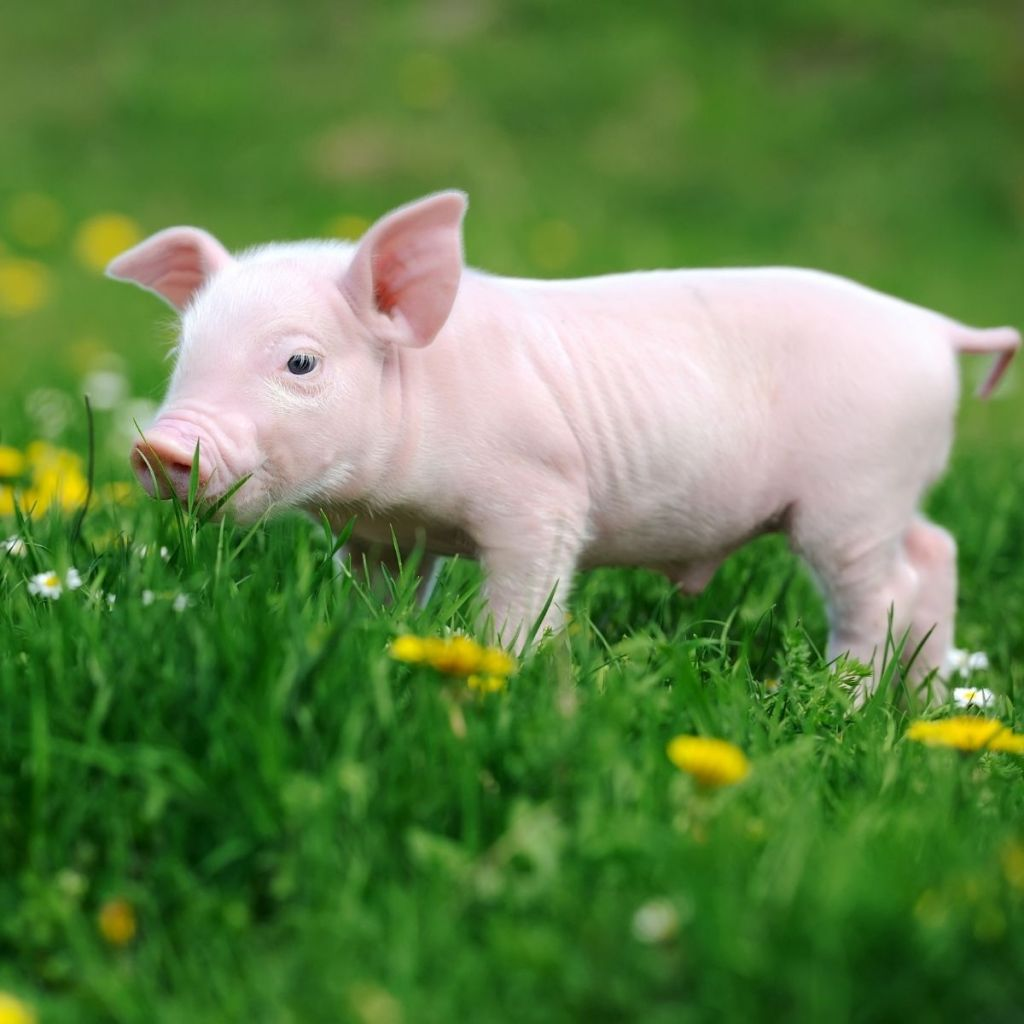 cute little pig in the grass